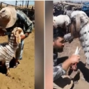 Pastir iz Turske je postao hit na internetu: Njegove koze imaju genijalne frizure…