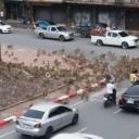 Vozači gledali obračun bandi majmuna: Napadaju i ljude zbog hrane kako bi preživjeli