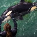 Mladunče orke uginulo uzaludno tražeći majku