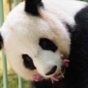Rijetka pojava: Džinovska panda okotila blizance u zoološkom vrtu u Francuskoj