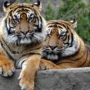 Sumatranski tigrovi iz zoološkog vrta u Jakarti oporavili se od koronavirusa, nije jasno kako su se zarazili