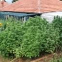 Hrvatska: Uzgajao marihuanu u dvorištu, dio stabljika viši od 2 metra