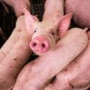 U Sloveniji sumnja u prvi slučaj afričke svinjske kuge