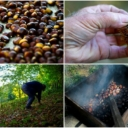 Kesten, simbol Bosanske krajine: Izvozi se samo kao sirovina