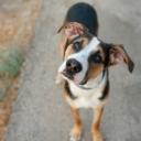 Zašto psi naginju glavu u jednu stranu kada im pričamo